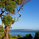 Eucalyptus, Inverloch, afternoon, Victoria by johnrf