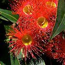 Australian, Eucalyptus ficifolia, Blossom #2.  by johnrf