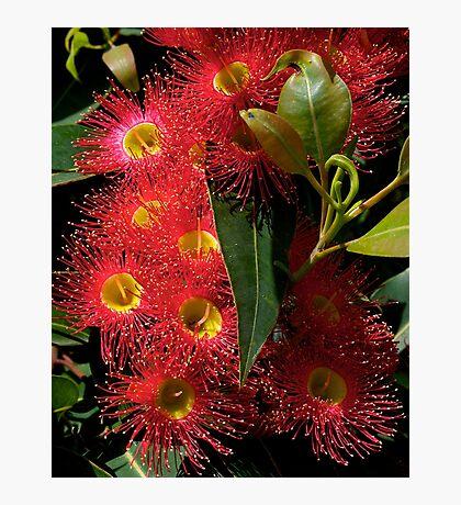 Blossom, Australian, Eucalyptus, ficifolia. Photographic Print