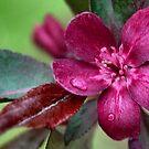 Crabapple Blossom by Sheri Nye