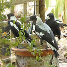 'WHOOPS! I NEED MORE SPACE', Magpies love this bird bath. by Rita Blom