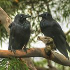 Crows At A Branch Meeting by Michael Matthews