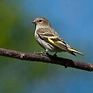 Pine Siskin Perched on a Branch by Jeff Goulden