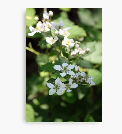 Spring Whites - wild blackberries Canvas Print