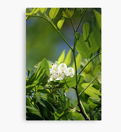 Spring Whites - black locust Canvas Print