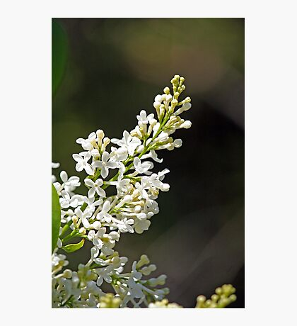 Spring Whites - lilac Photographic Print