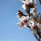 Apricot Tree Blossoms by IreKire