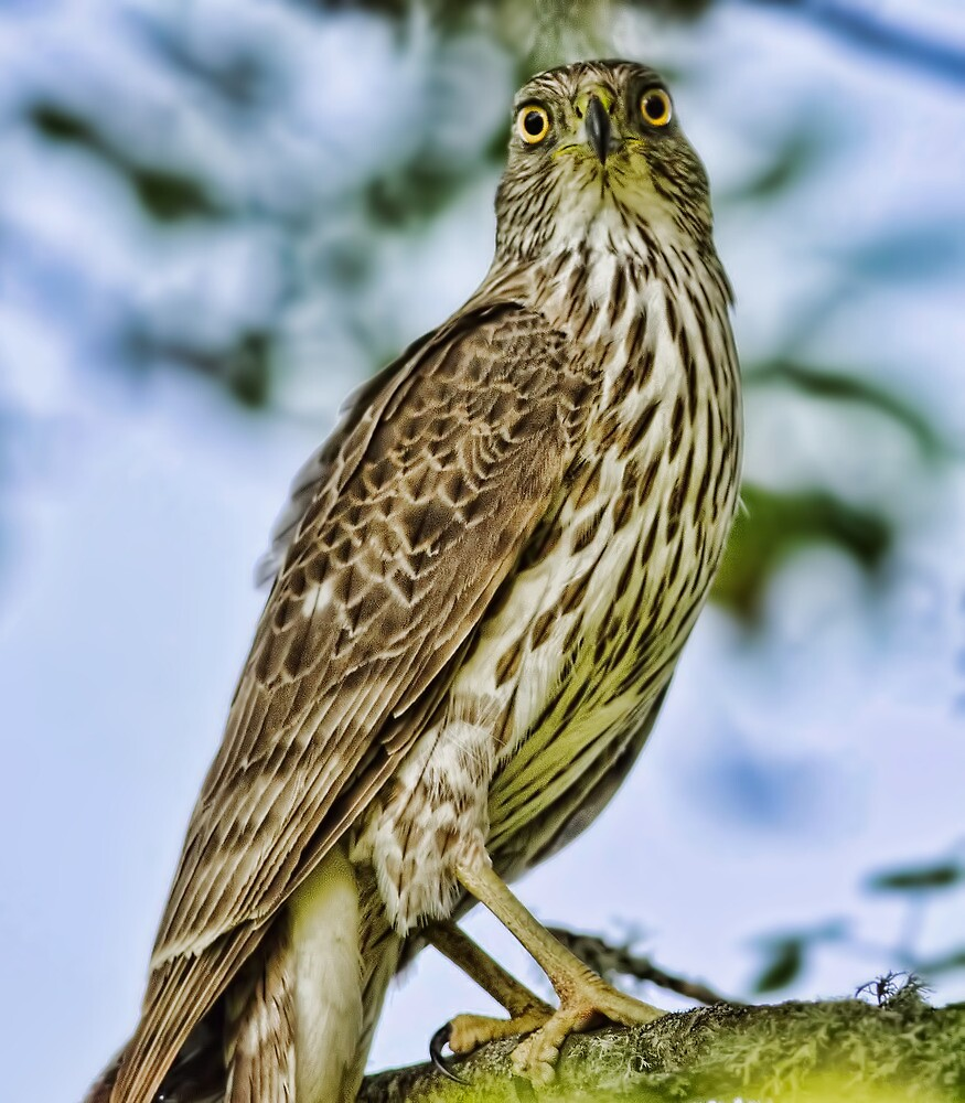 Sharp-Shinned Eye to Eye by Kenneth Haley