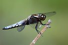 Male Broad-bodied Chaser Dragonfly by Neil Bygrave (NATURELENS)