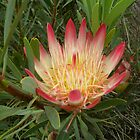 Halls Gap Protea by Kay Cunningham