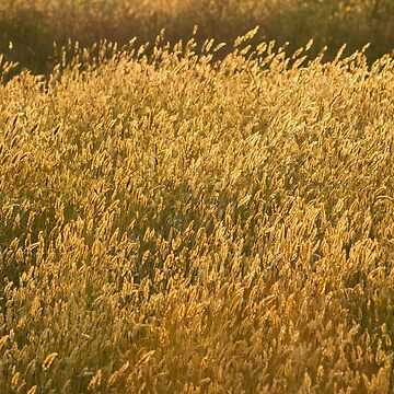 Backlit Grass by LindaMarques
