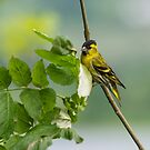 Siskin by M S Photography/Art