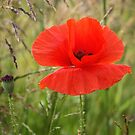 Red Poppy in A Field by Jo Nijenhuis