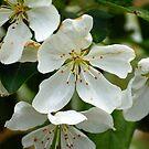 Crabapple blossoms.. by FotoBloke