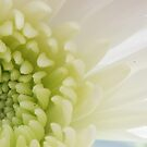 Chrysanthemum Beauty   by Crystal Zacharias
