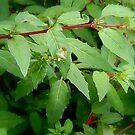 Hawthorn Sheild Bug by shelleybabe2