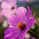 Cosmos field 2 by MikeO
