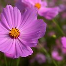 Cosmos field 4 by MikeO