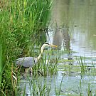 Great blue heron in nature reserve Bourgoyen by 7horses