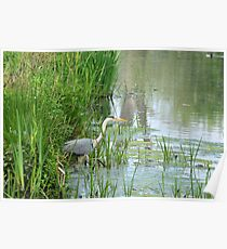 Great blue heron in nature reserve Bourgoyen Poster