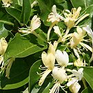 SMELL THE HONEYSUCKLE by Brenda Planchon
