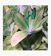 Lily in Green  Photographic Print
