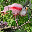 Roseate Spoonbill at Louisiana Rookery by Bonnie T.  Barry