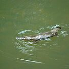 Percy Platypus by Penny Smith