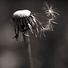 a spider and a dandelion by Clare Colins