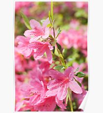 Rhododendron flower close up Poster