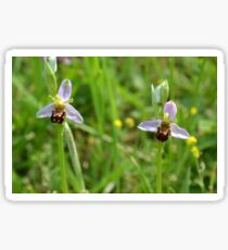 Bee Orchid - Ophrys apifera Sticker