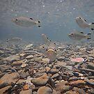 Jungle Perch (Kuhlia rupestris) -   Coopers Creek FNQ by john  Lenagan