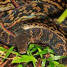 Detail of Amethystine Python  (Morelia amethistina ) -   Daintree Rainforest  FNQ by john  Lenagan