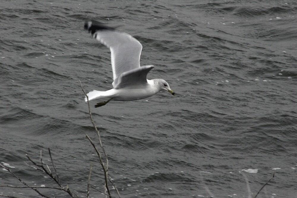 Seagull 01 by gpuronen