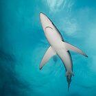 Blue Shark from below, South Africa by Erik Schlogl
