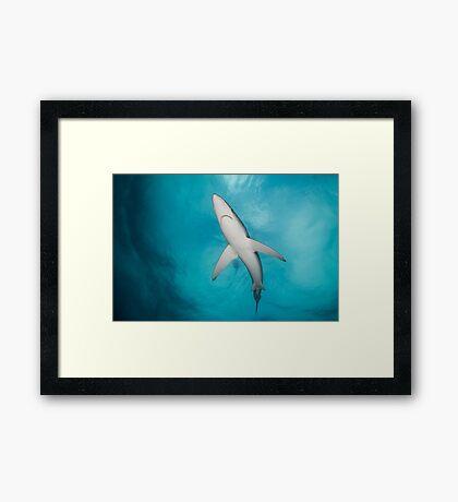 Blue Shark from below, South Africa Framed Print