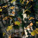 Birch Tangle by Wayne King