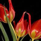 Tulipa agenensis  by andrachne