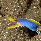 Blue-ribbon Eel - Rhinomuraena quaesita by Andrew Trevor-Jones