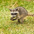 Baby Racoon by K D Graves Photography