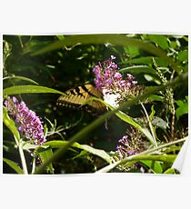 Butterfly011 Poster