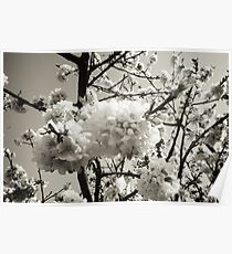 Beautiful cherry tree in spring bloom all white white flowers Poster