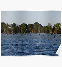 Egrets In The Swamp Poster