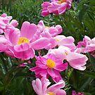 Pink Splendor by Paula Tohline  Calhoun