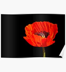 close up orange poppy in the sun Poster