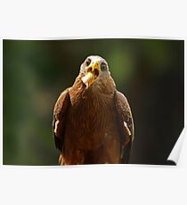 Hawk Eating Chicken Poster
