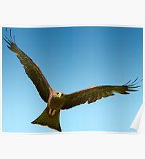 Yellow Billed Kite in Flight Poster
