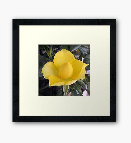 A sweet little rosebud Framed Print