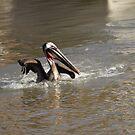 American Brown Pelican    San Carlos, Sinaloa, Mexico by Verna  Perry