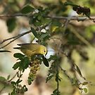 Yellow Warbler, Mazatlan, Sinaloa, Mexico by Verna  Perry